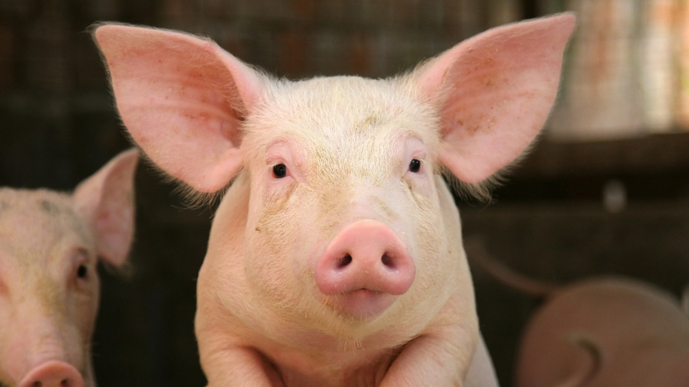 Schweine: Retter in der Not