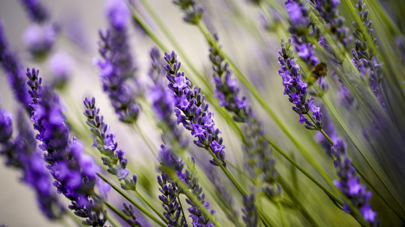 Lavendelöl: Hilft das Pflanzenpräparat wirklich gegen Angstzustände?